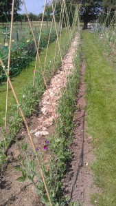Sweet Pea rows with a mulch of sheeps wood