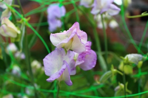 Cream sweet pea fringed with a delicate lilac