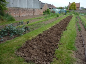 Beds ready and prepared for Sweet Peas